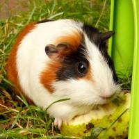 higgly-pig_1