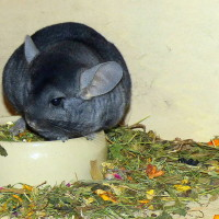 Fischers Chinchillas 1