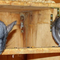Fischers Chinchillas 2
