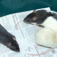 Rattenkinder 1