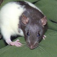 Rattenkinder 11