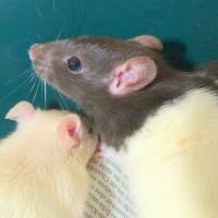 Rattenkinder 5