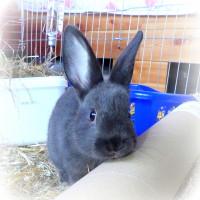 Kindler-Kaninchen a