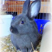 Kindler-Kaninchen b