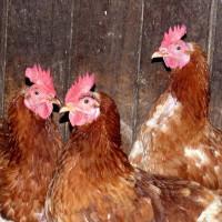 Drei Hennen a