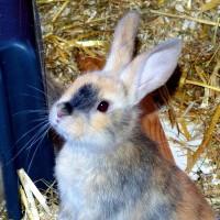 Kindler-Kaninchen d