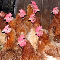Zehn Hennen