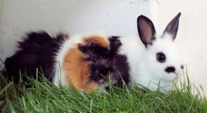 kaninchen-und-meerschweinchen-5-08