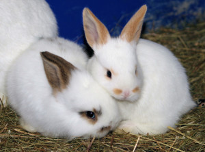 kaninchenbabys-3-wochen-alt-b