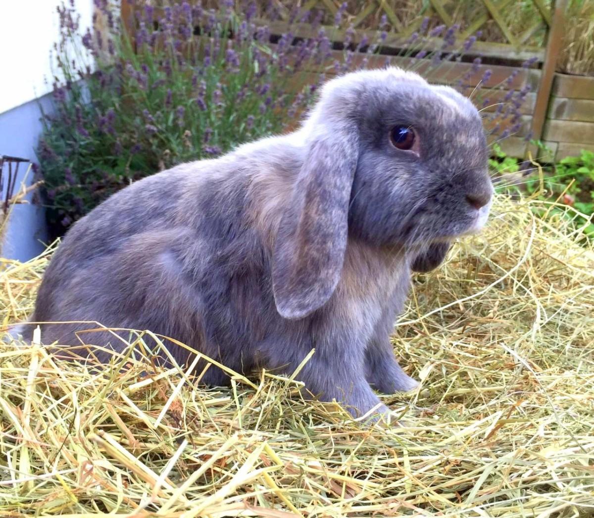rhd ii lassen sie ihre kaninchen impfen netzwerk mensch tier. Black Bedroom Furniture Sets. Home Design Ideas